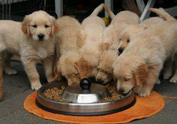 Naturlig ernæring til din hund med Orijen hundefoder